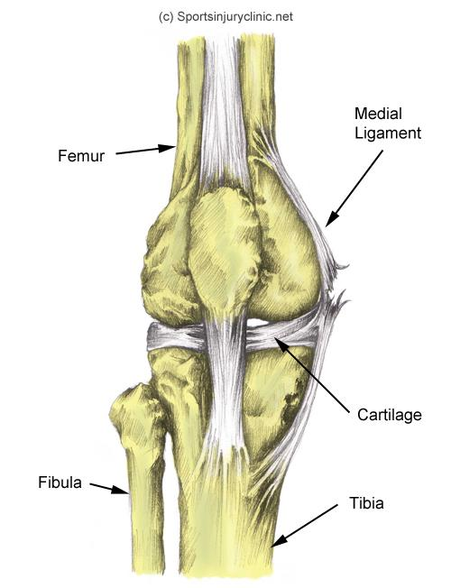 medial collateral ligament. - more information - findyou, Human Body